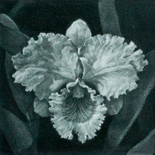 土田瞬/Shun Tsuchida《Cattleya》2014, 15x15cm, pencil on Arches paper